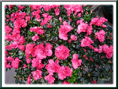 Rhododendron simsii or Azalea indica (reddish-pink flowers), at a garden nursery
