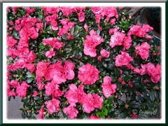 Rhododendron simsii or Azalea indica (reddish-pink flowers), at a garden nursery