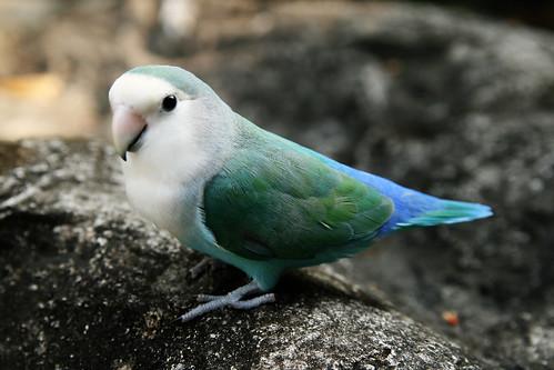 Dutch blue lovebird