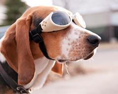 284/365 The Adventure begins (Paguma / Darren) Tags: dog goggles hound floyd doggles tamronspaf1750mmf28xrdiiildasphericalif msogregionawinner