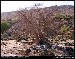 Baobab Tree in Wadi Hinna, Dhofar (Shanfari.net) Tags: trees tree nature lumix raw natural african middleeast panasonic malvaceae henna hina oman wadi fz mideast hena baobab zufar digitata rw2 salalah hinna   sultanate dhofar    khareef   mirbat adansonia    adansoniadigitata       governate  dofar fz38 marbat  fz35 dmcfz35