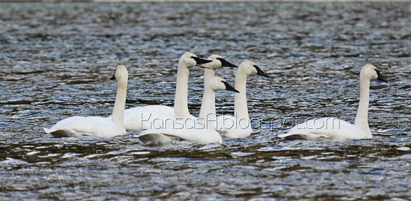 Trumpeter Swans (by KansasA)