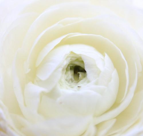 white ranuncula