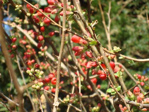 rote Blütenknospen