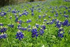 A field of bluebonnets (Magda of Austin) Tags: plant flower austin march spring texas symbol bluebonnet wildflower indianpaintbrush stateflower lupinustexensis texasbluebonnet buffaloclover pentaxk200d wolfflower texaslupine