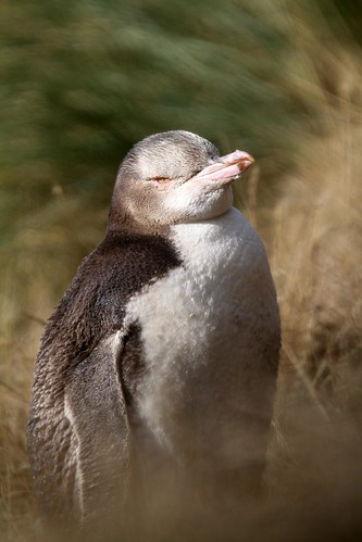 "Moulting Juvenile ""Yellow Eyed Penguin"""