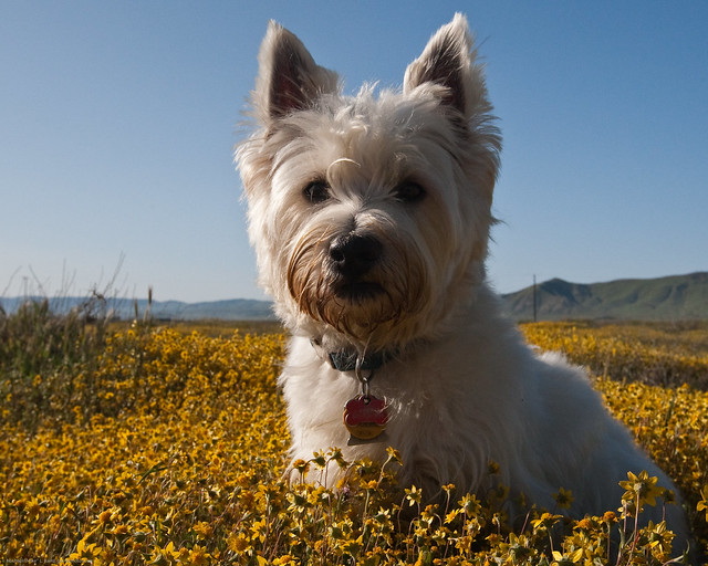 Dog Mackenzie in Carrizo Plain Wildflowers-1
