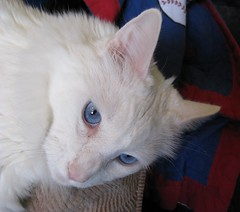 My Cerulean Cat (Pixel Packing Mama) Tags: pixelpackingmama blueeyedanimalspool dorothydelinaporter montanathecat~fanclub reallyunlimited ceruleanthecat~fanclub whitecatsset catssmalltobigpool 125viewspostupto5perdaypool beautifulcatspool catpixpool catcloseupspool allcatsallowedpool mybelovedcatpool monochromepetspool 50plusphotographersaged50andbetterpool catsrulersoftheworldcatsrockpool photosfrom20002010pool felinefriendspool pixuploadedfirsthalfof2010set pixtakeninfirsthalfof2010set picturestakenwithcanonpowershota2000isin2010set catskittensstartingjanuary12010set obsessivephotography30perdaypool 2itemshavebeenaddedtotheallcatsallowedpool allcatsnopeoplelastdaypool pixelpackingmama~prayforkyronhorman photosfrom20102020pool oversixmillionaggregateviews over430000photostreamviews