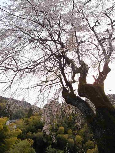 八講桜@桜井市-09