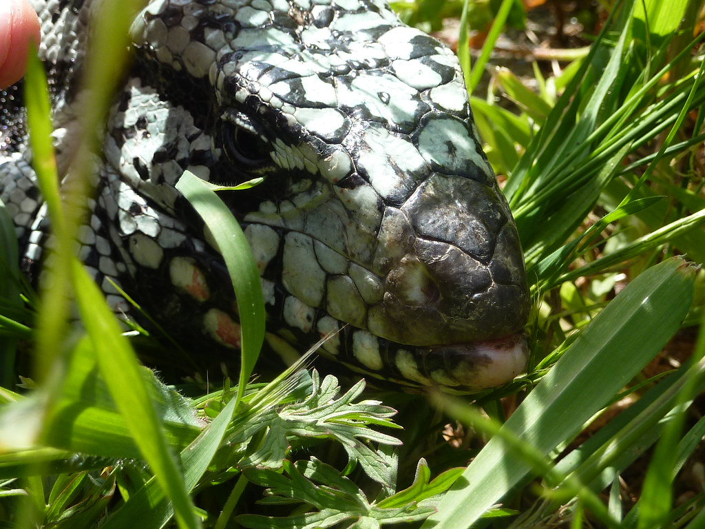 The World's most recently posted photos of blue and tegu