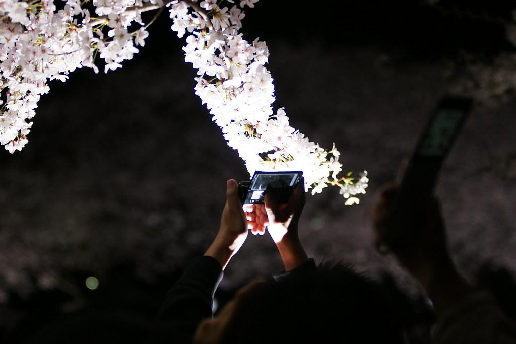 2010野川桜ライトアップ 3