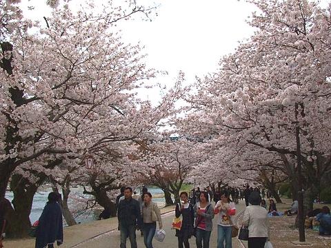 錦帯橋 花見16
