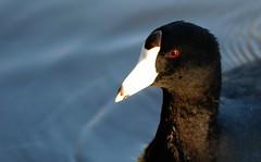 american coot headshot (neary lagoon) (zimway2k) Tags: santacruz bird lagoon american neary coot scphoto