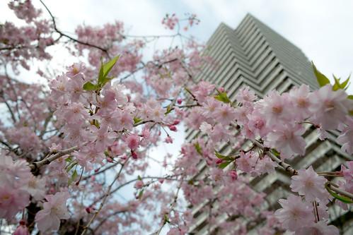 Last sakura ?