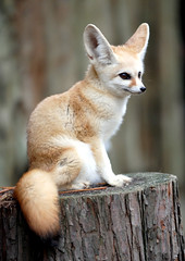 Fennec fox (floridapfe) Tags: dessert fox fennec fennecfox supershot