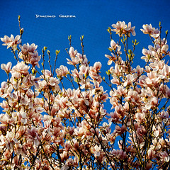I must be allowed to be as I am. (Quote by Agnetha Faltskog) (Sashs Kitchen-Studio Photography) Tags: blue madame sky texture geotagged spring queen sascha magnolia onblue rueb hbm magnolie insashi rb aplusphoto damniwishidtakenthat vanagram lesbrumes springlicious updatecollection allrightsreservedsascharueb givemefive sashskitchenstudiophotography
