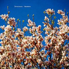 I must be allowed to be as I am. (Quote by Agnetha Faltskog) (Sash´s Kitchen-Studio Photography) Tags: blue madame sky texture geotagged spring queen sascha magnolia onblue rueb hbm magnolie insashi rüb aplusphoto damniwishidtakenthat vanagram lesbrumes springlicious updatecollection allrightsreserved©sascharueb ☼♥givemefive♥☼ sash´skitchenstudiophotography