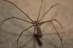 Daddy Long Legs (tiredguy) Tags: macro daddy spider long legs creepy crawly