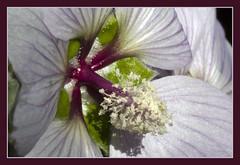 IMG_2741 Mountain plant 4 (jaro-es) Tags: flowers espaa mountain mountains flower macro nature canon spain flor natura bergen montaa blume makro spanien montaas costablanca mountainplant abigfave spanelsko eos450 plantasdemontaa bergpflanzenplanta