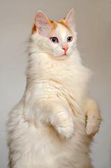 [フリー画像] 動物, 哺乳類, 猫・ネコ, 立っている, 201004031100