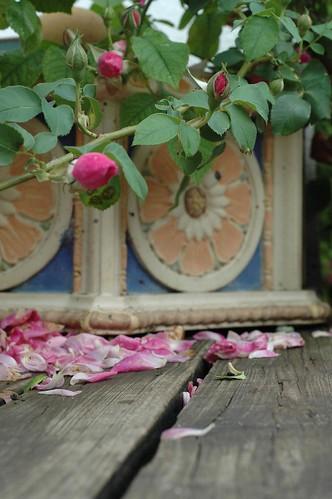 rose temple pilot