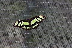 baudchon-baluchon-mindo-papillons-34