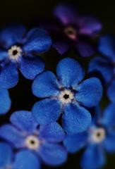 Blue Spring (AnyMotion) Tags: flowers blue plants macro nature floral colors spring colours blossom frankfurt natur pflanzen blumen forgetmenot blau makro blüte fa farben 2010 vergissmeinnicht myosotis makroaufnahmen anymotion canoneos5dmarkii 5d2