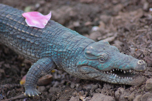 April 21: Pink Petal on Crocodile