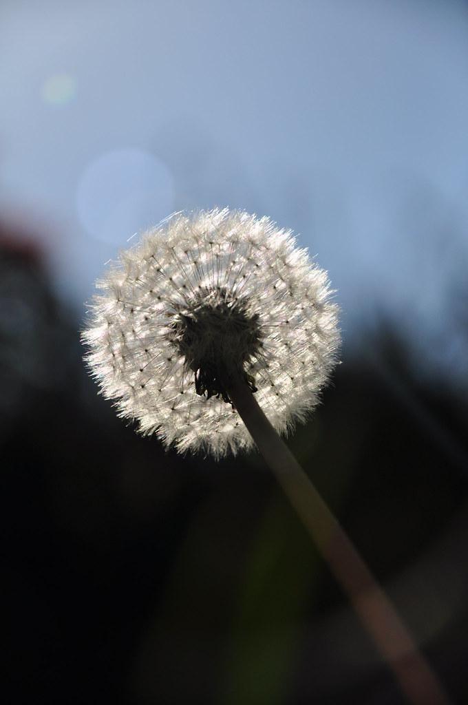 dandelion flare diagonal