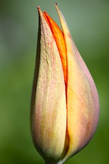tulip emerging (mclcbooks) Tags: beautiful photography bokeh group flickrcentral flowerpower flowerbox denverbotanicgardens flowercloseups hiddentreasure bloomingflowers closerandclosermacrophotography saremofamosi flowerlovers flickrphotocontest perfectpetals mywinners nationalgeographicareyougoodenough flickrawards fabulousflowers flowersgroup flowerwatching flickrbronzeaward flowersarebeautiful exemplaryshots heartawards springtimeblooms platinumheartawards dofgroup goldstaraward flowersmacroworld naturestyle macroflowerlovers brilliantphotography wholelotofflowers astonishingflowers thebestshot highqualityimages spiritofphotography flowerbudsandblossoms wonderfulworldofmacro mimamorflowers photosofqualitytosmileabout defendersnaturemacroandcloseup thebestflowersshots screamofthephotographer flickrsawesomeblossoms grouptripod flowersofgardens doubledragonaward freeflickrflowersfff bokehliciousimage flowercauleleaf artofimages amazingdetails addictedtonature bestofmimamorsgroups unforgettableflowers beautyandart flowermacrogroup flowermacrowaterdrops scoremyflower beautifulflowerfantasticshot flickrsgottalent mygearandme1 weloveallflowers silveramazingdetails thenaturessoul betterthangoodlevel1 butterfliesandflowersphotos elisfavoriteflowers sackofphotosmothernature cherishyourdreamsandvisions goldamazingdetails denverbotanicgardensgroup