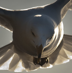 Ring-Billed Gull: Flying Headshot (mbaglole) Tags: park ontario burlington marina nikon gull 300mm lasalle nikkor f4 afs ringbilled mywinners slbflying hennysanimals