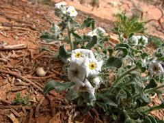 Canyonland flowers-5