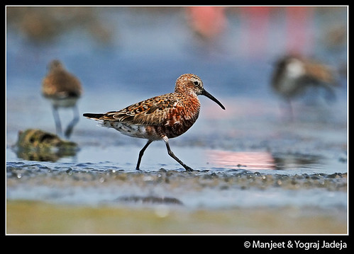 Curlew Sandpiper (Calidris ferruginea) in breeding plumage