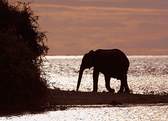Elephant at Dusk, Chobe National Park Botswana