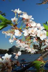 Cherry Blossoms at Jefferson Memorial (Renal Bhalakia) Tags: cherryblossoms jeffersonmemorial nikon18200mmvr nikond80 renalbhalakia