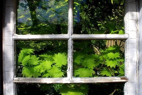 Window Maple