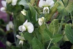 pea flowers 2