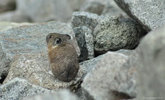 American Pika (Photography Through Tania's Eyes) Tags: rodent animal wildlife ears whiskers tail fur rocks peachland okanaganvalley okanagan bc britishcolumbia canada americanpika pika nikon taniasimpson copyrightimages photograph photographer photo picture