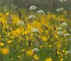 blooming (ceesjwfoto (Cees Wouda)) Tags: flower holland netherlands spring europe springtime uitdam