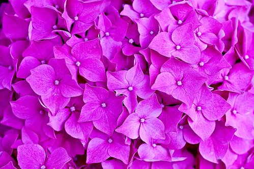 フリー写真素材, 花・植物, アジサイ科, 紫陽花・アジサイ, ピンク色の花,