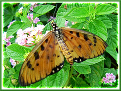 Tawny-coloured Acraea terpsicore or A. violae (Tawny Coster butterfly)
