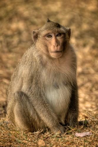 Angkor Wat, Rhesus Macaque