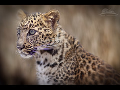 Look into my eyes... (Jesse Estes) Tags: oregon leopard spotted bandon bandongamepark specanimal spottedleopard 5d2 jesseestes jesseestesphotography