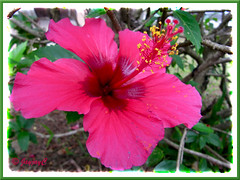 Hibiscus rosa-sinensis (magenta pink with dark red center)