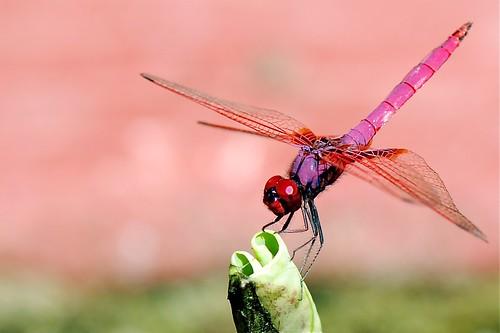 蜻蜓 ~ 放大版