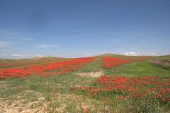 Camino verde entre amapolas (gabsiq) Tags: naturaleza primavera sol azul paisaje colores vida cielo ideas amapolas rojos mediodia caminoverde luznatural paracuellosdejarama