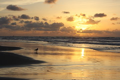 Anthem of the sun (The Family Dog) Tags: sunset sea bird beach clouds gold golden evening sand view seagull north tones ☆thepowerofnow☆