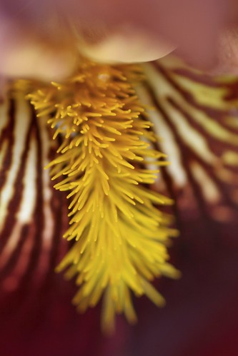 iris-gold