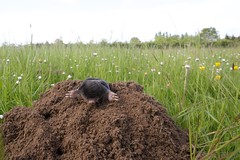 Mole on his molehill (christian_jacquet) Tags: macro field animal closeup underground culture hearth agriculture mole tere champ souterrain insectivorous taupe insectivore molehill taupiniere