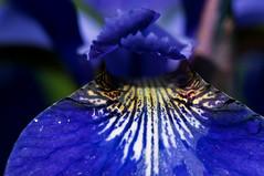 My Blue Iris_0071 (CUCKOOPHOTHOG) Tags: camera flowers home lens ourhouse filters blueiris ourgarden northbay micronikkor105mm macrocloseup treesplantsflowers nikond300 hoyalpfpolarizercir